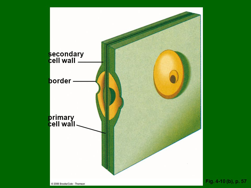 secondary cell wall border primary cell wall Fig (b), p. 57