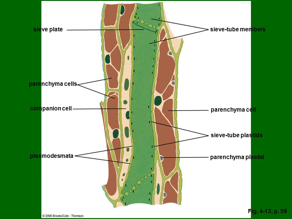 sieve plate sieve-tube members parenchyma cells companion cell