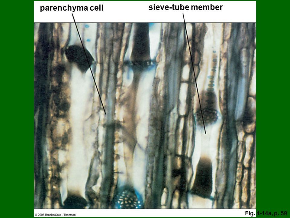 sieve-tube member parenchyma cell Fig. 4-14a, p. 59