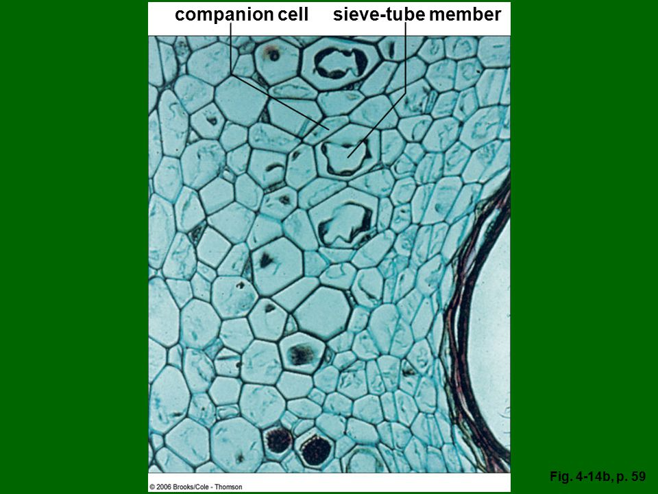 companion cell sieve-tube member Fig. 4-14b, p. 59