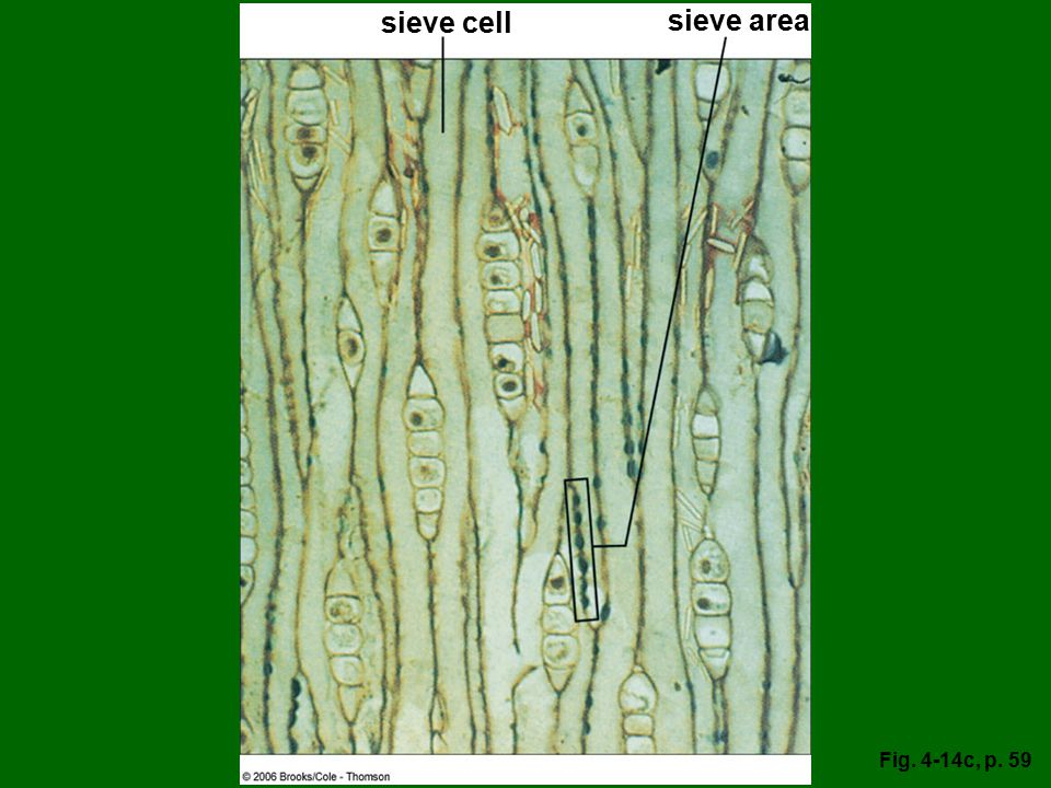 sieve cell sieve area Fig. 4-14c, p. 59