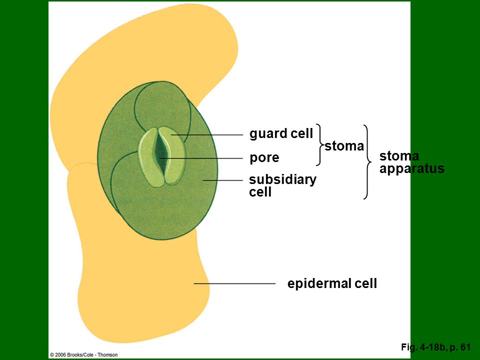 guard cell stoma pore stoma apparatus subsidiary cell epidermal cell