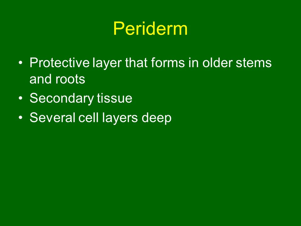 Periderm Protective layer that forms in older stems and roots