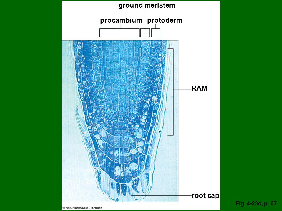 ground meristem procambium protoderm RAM root cap Fig. 4-23d, p. 67