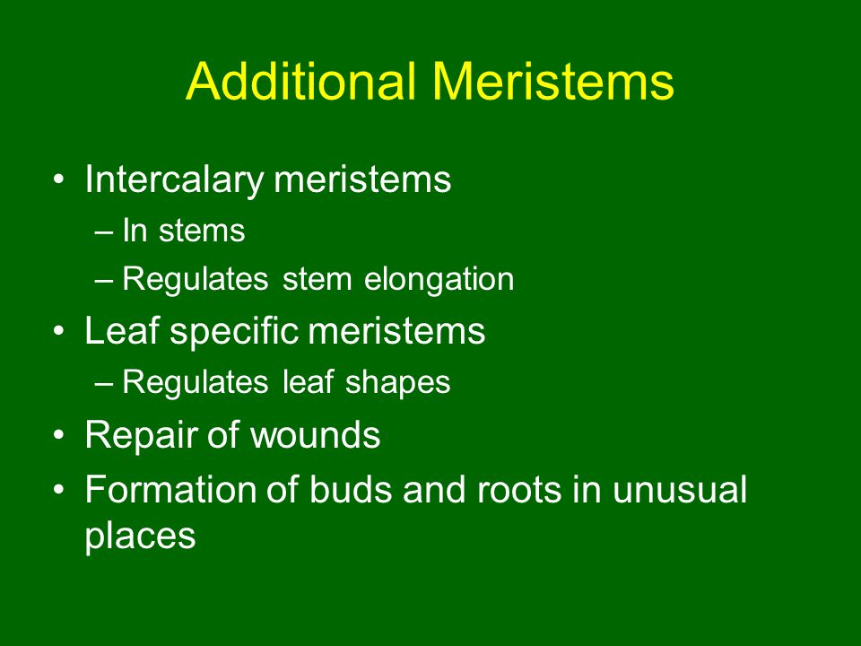 Additional Meristems Intercalary meristems Leaf specific meristems