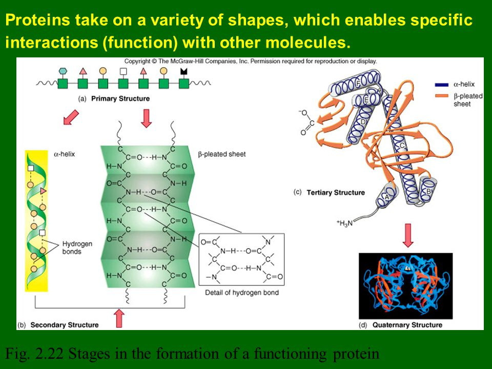 Proteins take on a variety of shapes, which enables specific interactions (function) with other molecules.