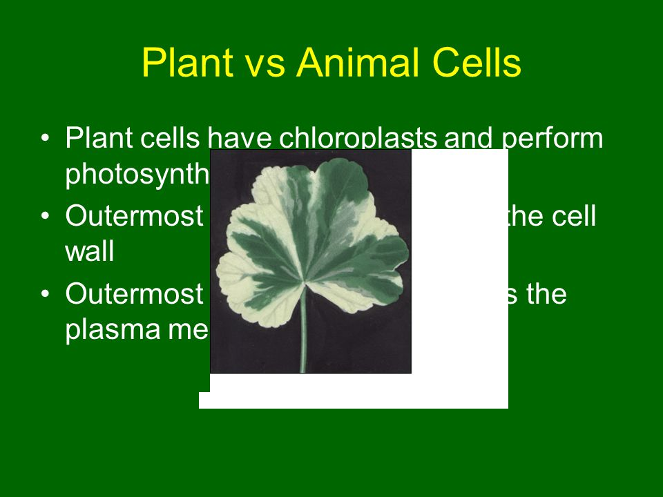 Plant vs Animal Cells Plant cells have chloroplasts and perform photosynthesis. Outermost barrier in plant cells is the cell wall.