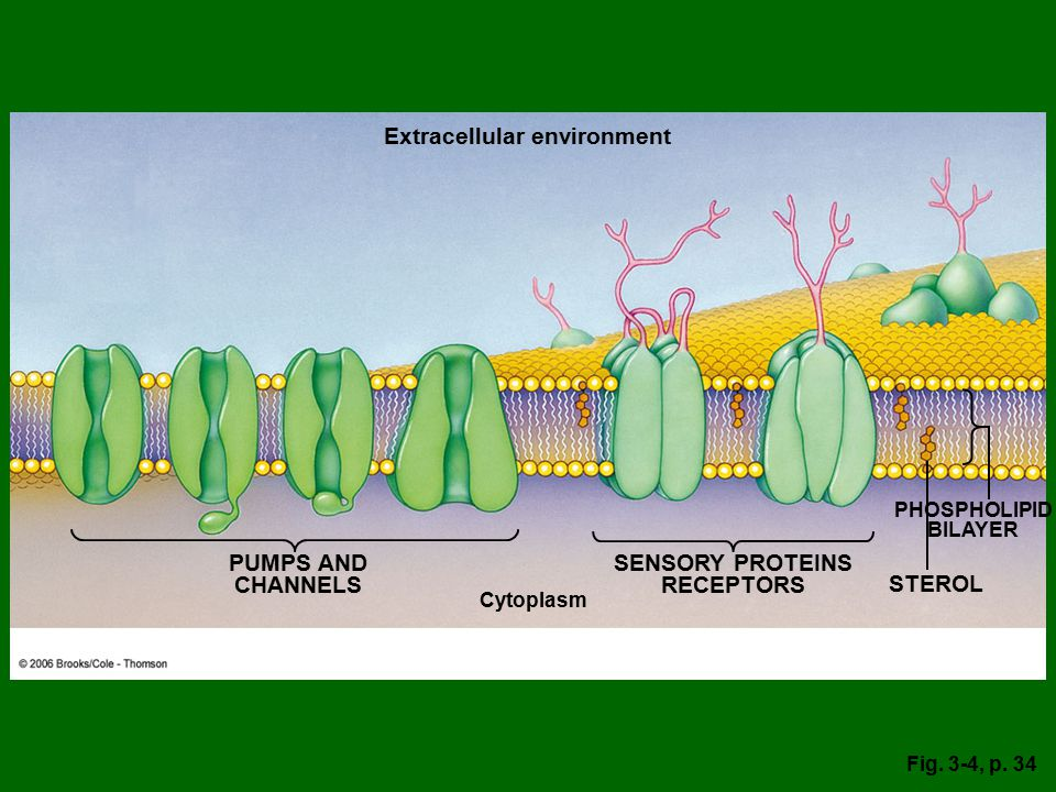 PUMPS AND CHANNELS SENSORY PROTEINS RECEPTORS