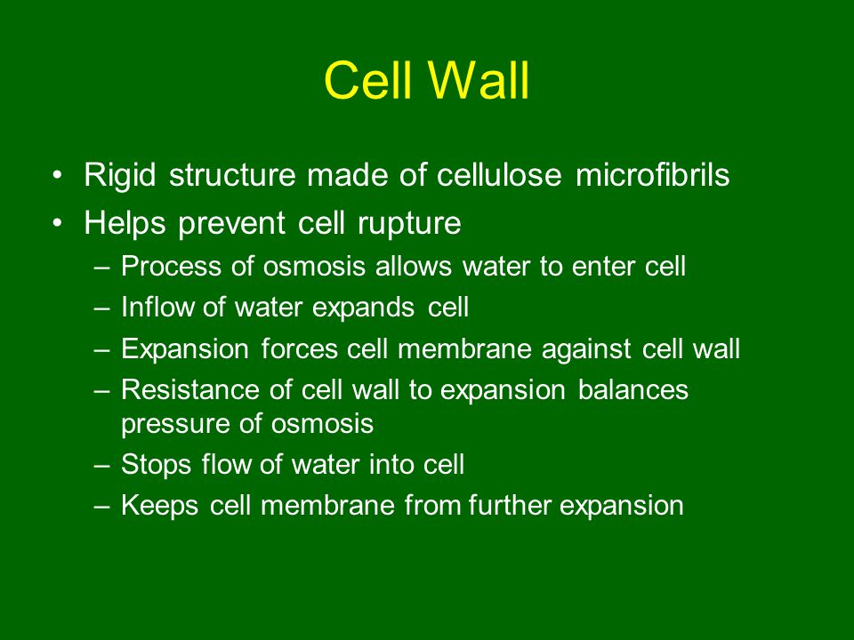 Cell Wall Rigid structure made of cellulose microfibrils