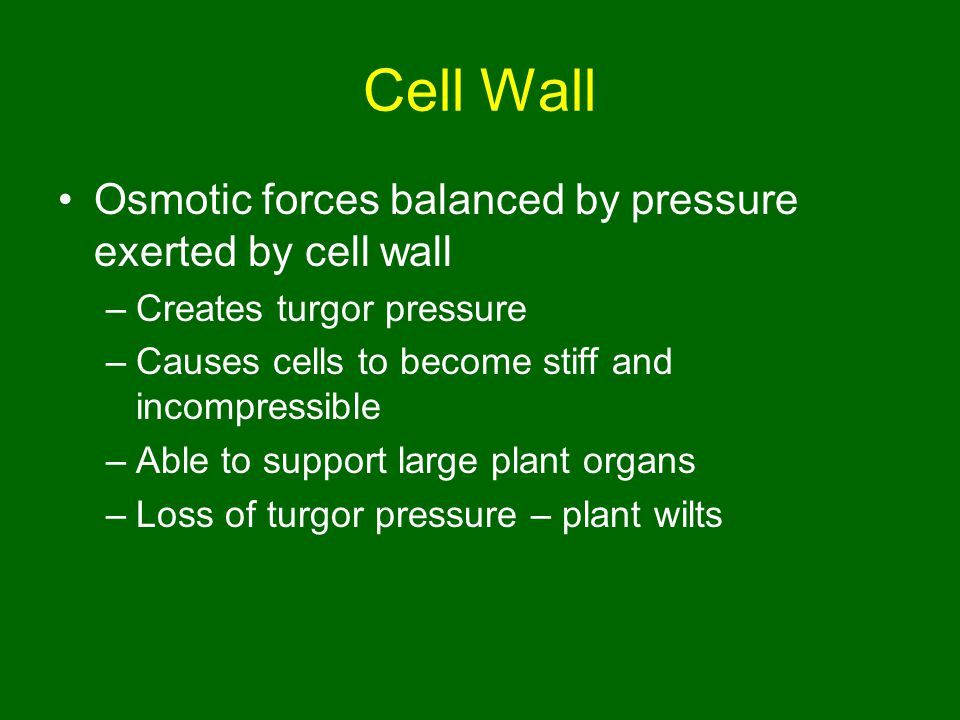 Cell Wall Osmotic forces balanced by pressure exerted by cell wall