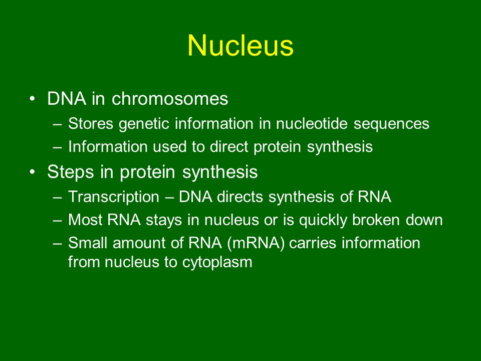 Nucleus DNA in chromosomes Steps in protein synthesis