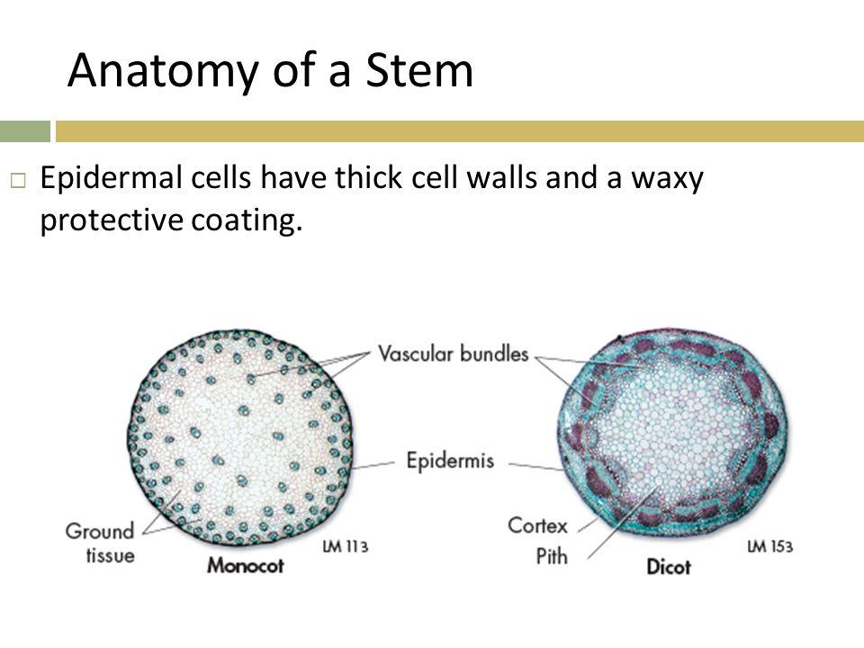 Stem Cell Anatomy - bark amp cork cliff lamere