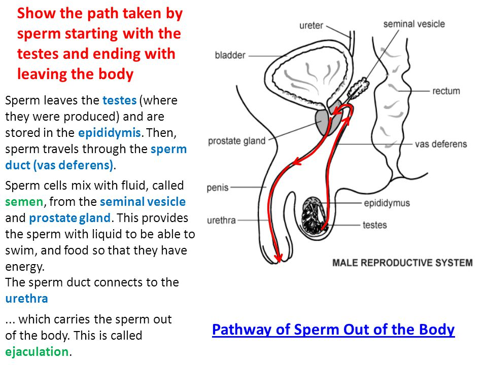 Path sperm take through the uterus