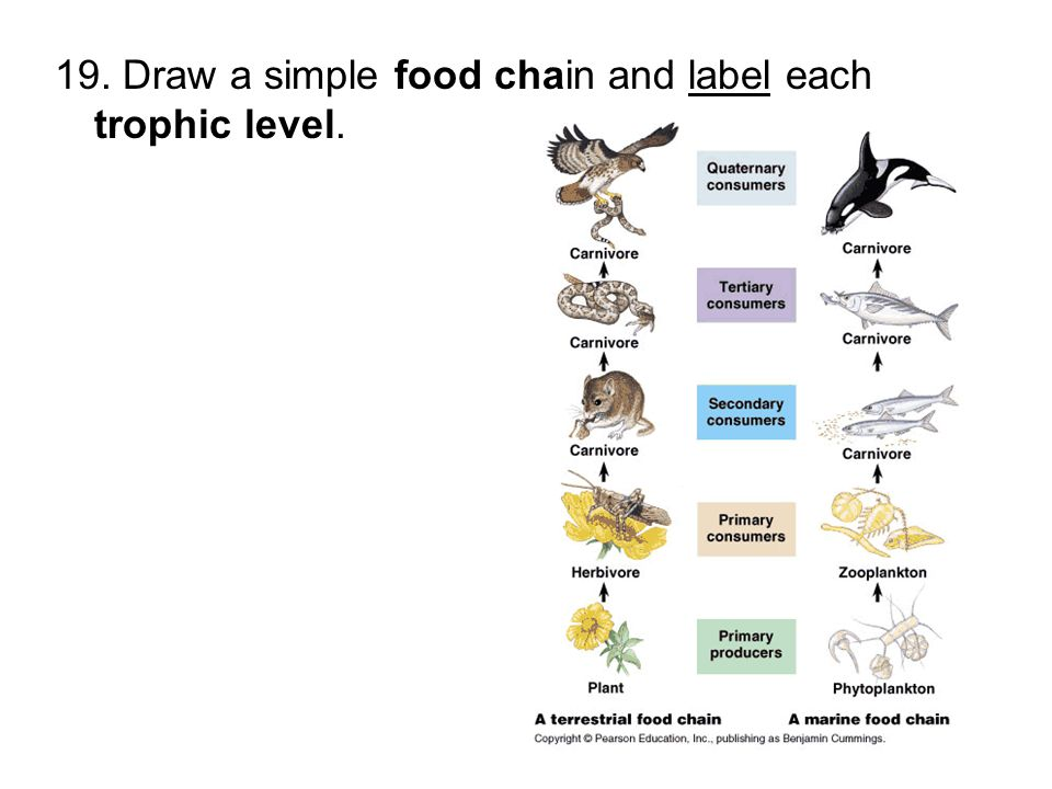 diagram a simple food chain and label each trophic level long simple food chain diagram