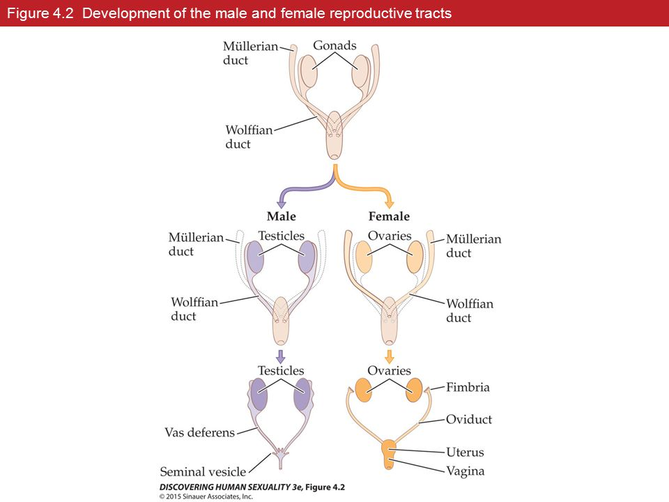 Figure 4.2 Development of the male and female reproductive tracts