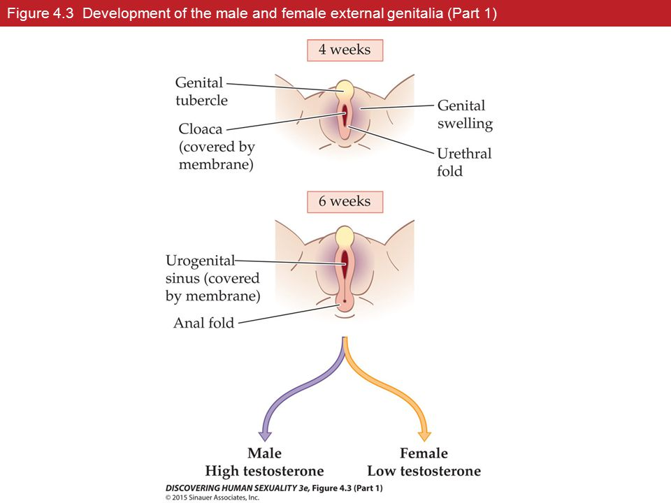External Genital Development in Males and Females Video 1973330 ...
