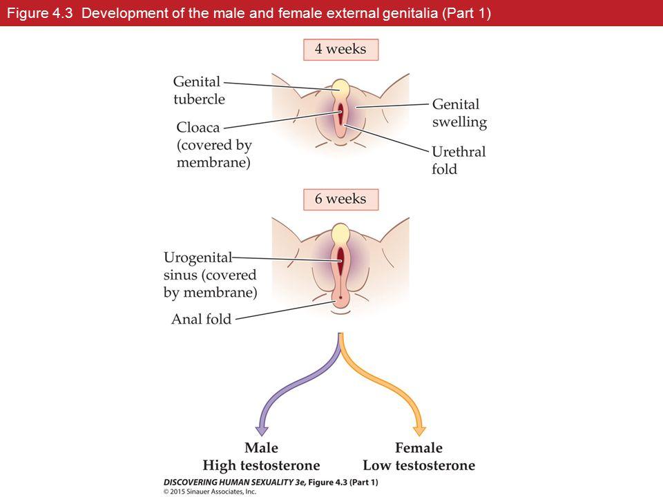 Figure 4.3 Development of the male and female external genitalia (Part 1)