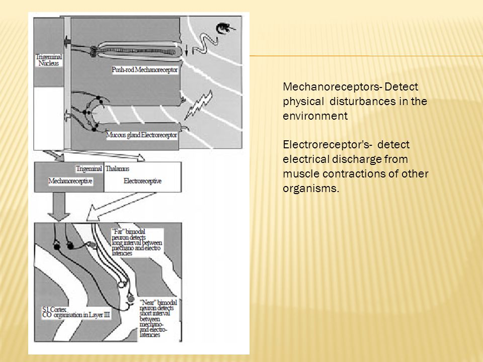 Mechanoreceptors- Detect physical disturbances in the environment