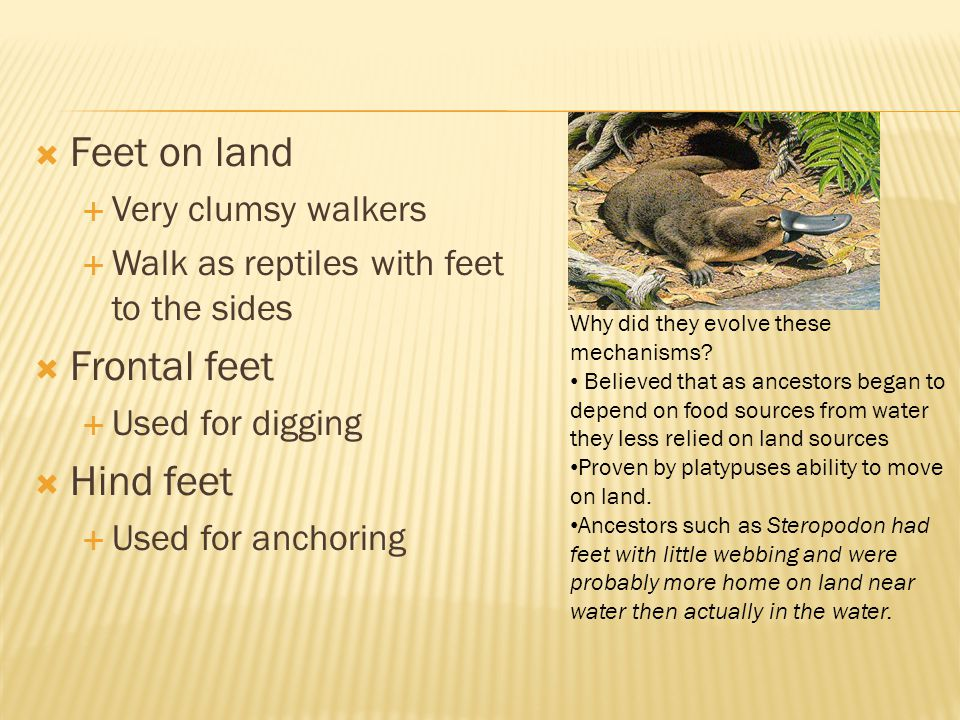 Feet on land Frontal feet Hind feet Very clumsy walkers