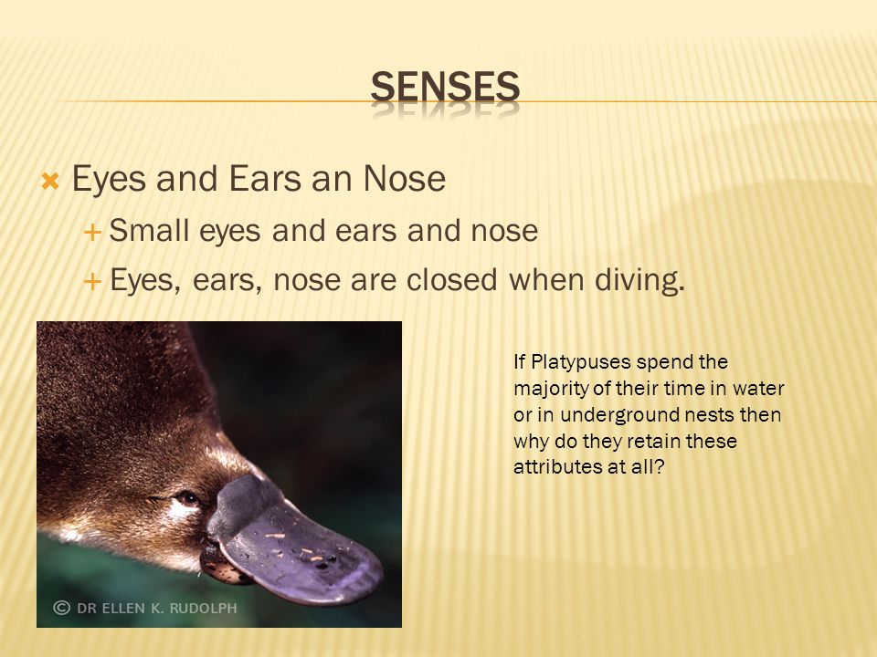 Senses Eyes and Ears an Nose Small eyes and ears and nose
