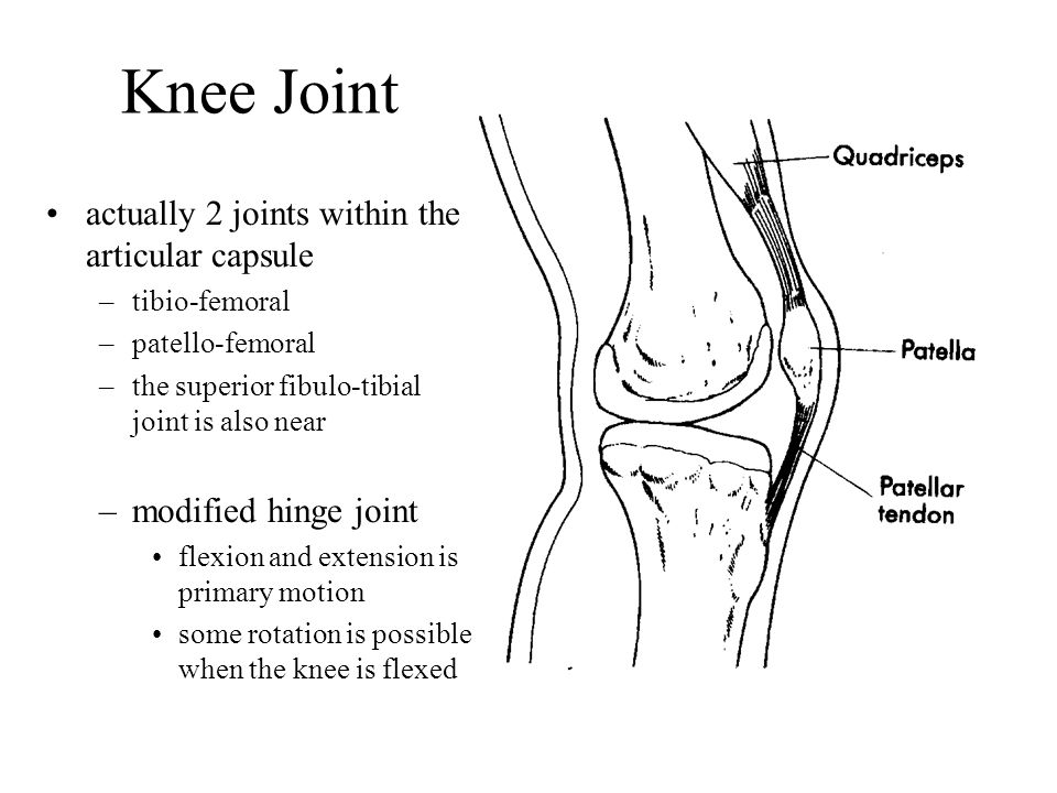Knee Joint actually 2 joints within the articular capsule ... Hinge Joint Knee