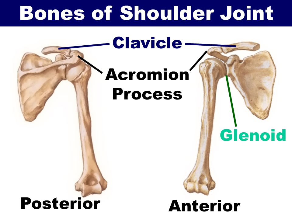 the shoulder. - ppt video online download, Human Body