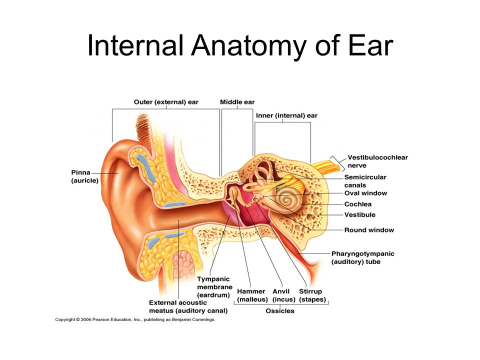 Schön Human Ear Anatomy And Physiology Bilder - Anatomie Ideen ...