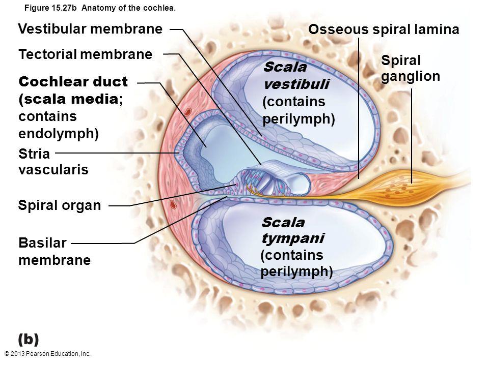 Anatomy of cochlea