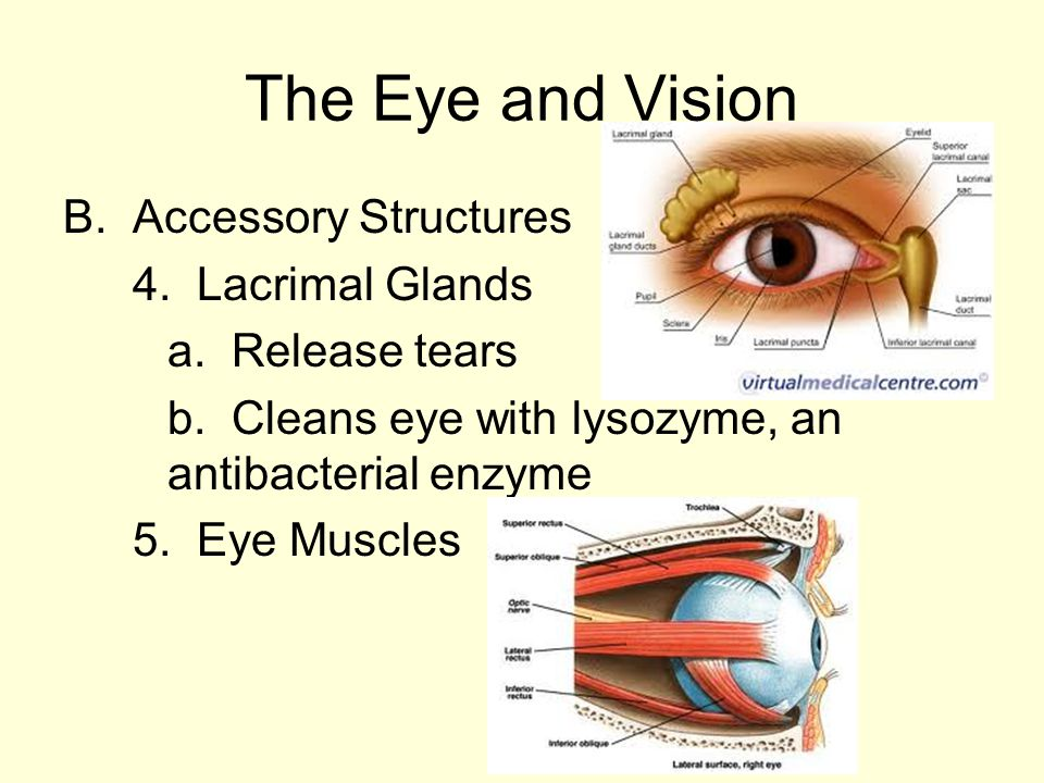 five accessory eye structures that contribute to tears Ideally, the excess tears collect in an area known as the lacrimal lake, where they will eventually be drawn into a small opening called the lacrimal duct if the duct becomes overwhelmed or blocked, however, the excess may spill out of the lower eye and down the person's cheek.