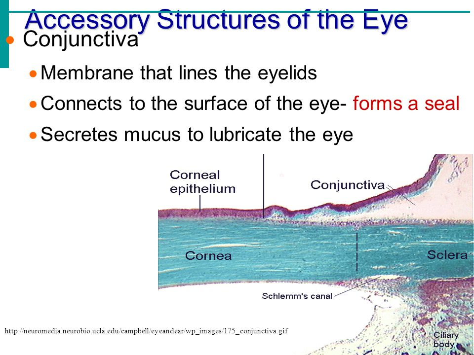 Five accessory eye structures that contribute to tears