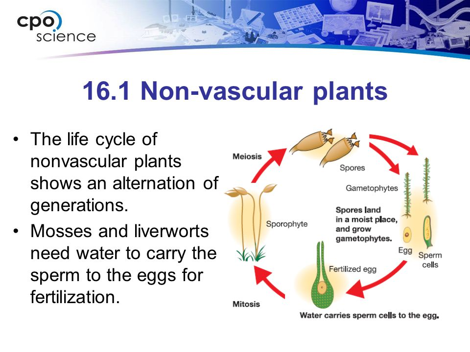 Image Result For Life Cycle Of Nonvascular Plants Ppt