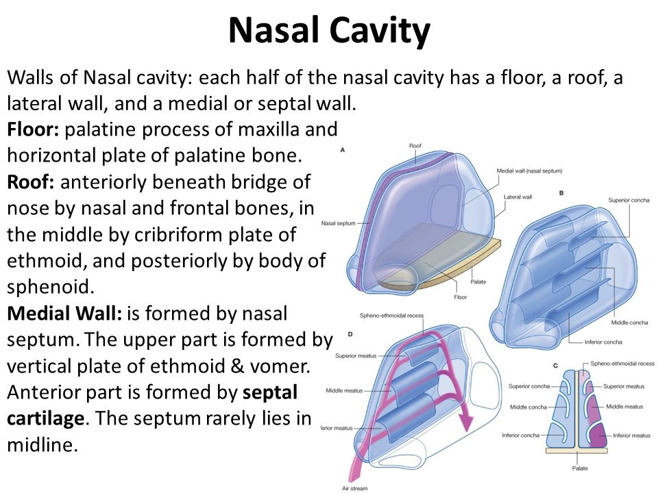 Nasal cavity paranasal sinuses ppt video online download for Floor of nasal cavity