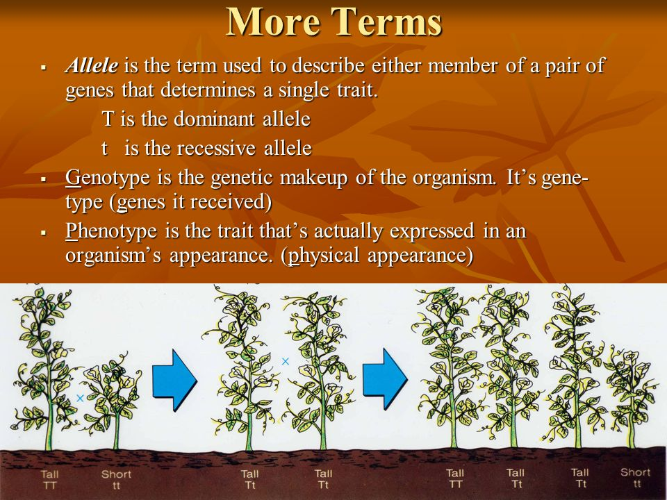 More Terms Allele is the term used to describe either member of a pair of genes that determines a single trait.