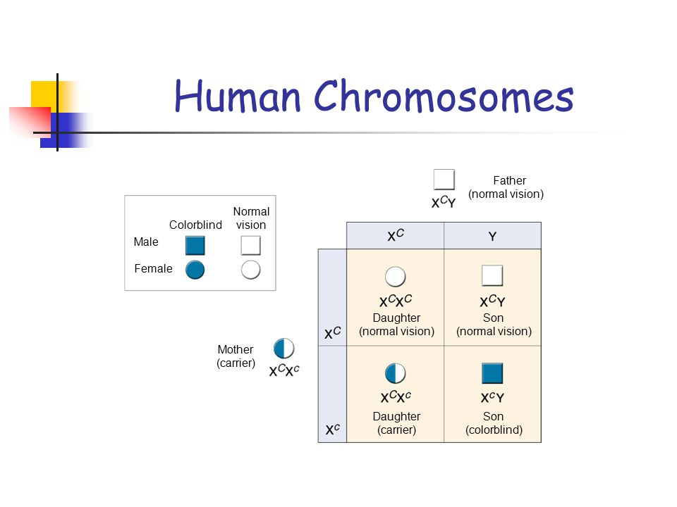 Human Chromosomes Father (normal vision) Normal vision Colorblind Male