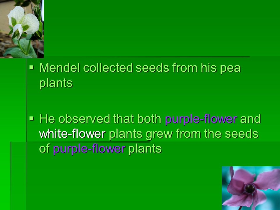 Mendel collected seeds from his pea plants