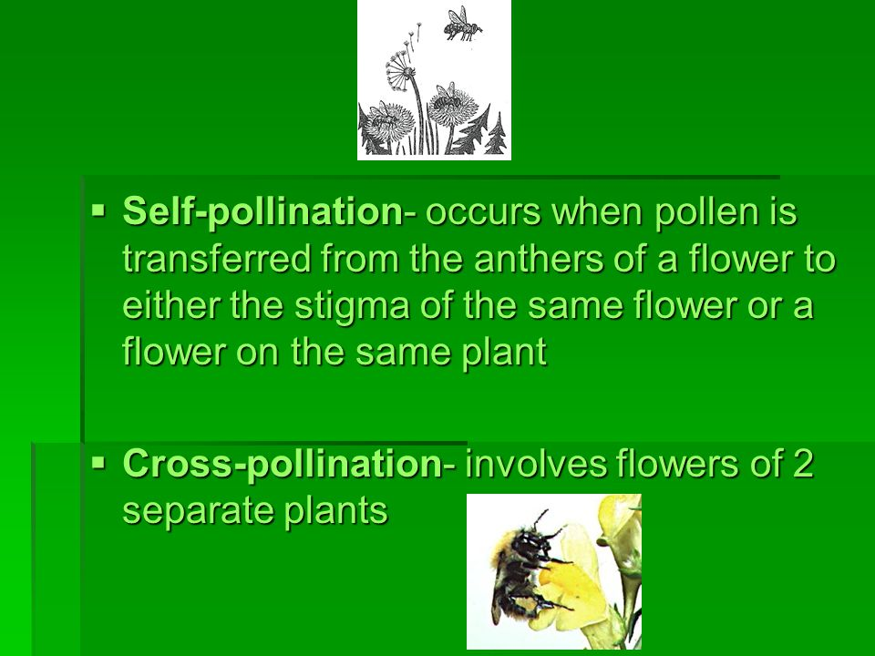 Self-pollination- occurs when pollen is transferred from the anthers of a flower to either the stigma of the same flower or a flower on the same plant