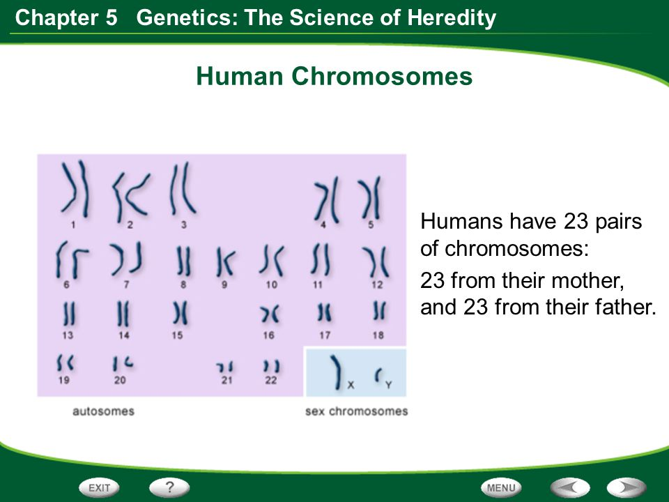 Human Chromosomes Humans have 23 pairs of chromosomes: