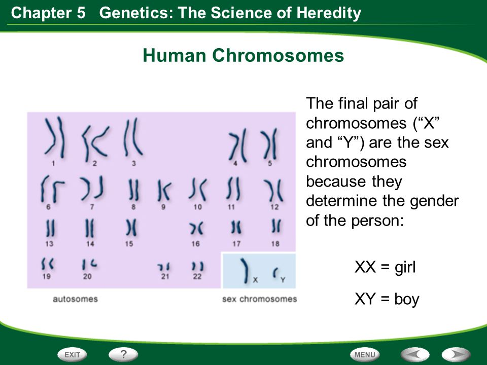 Human Chromosomes The final pair of chromosomes ( X and Y ) are the sex chromosomes because they determine the gender of the person: