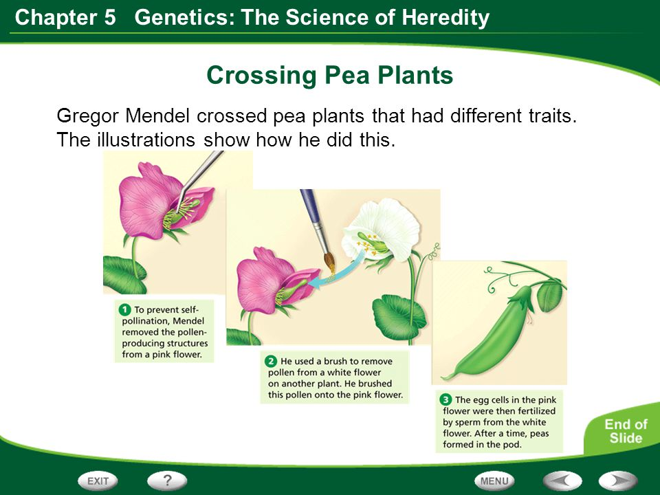 Crossing Pea Plants Gregor Mendel crossed pea plants that had different traits.