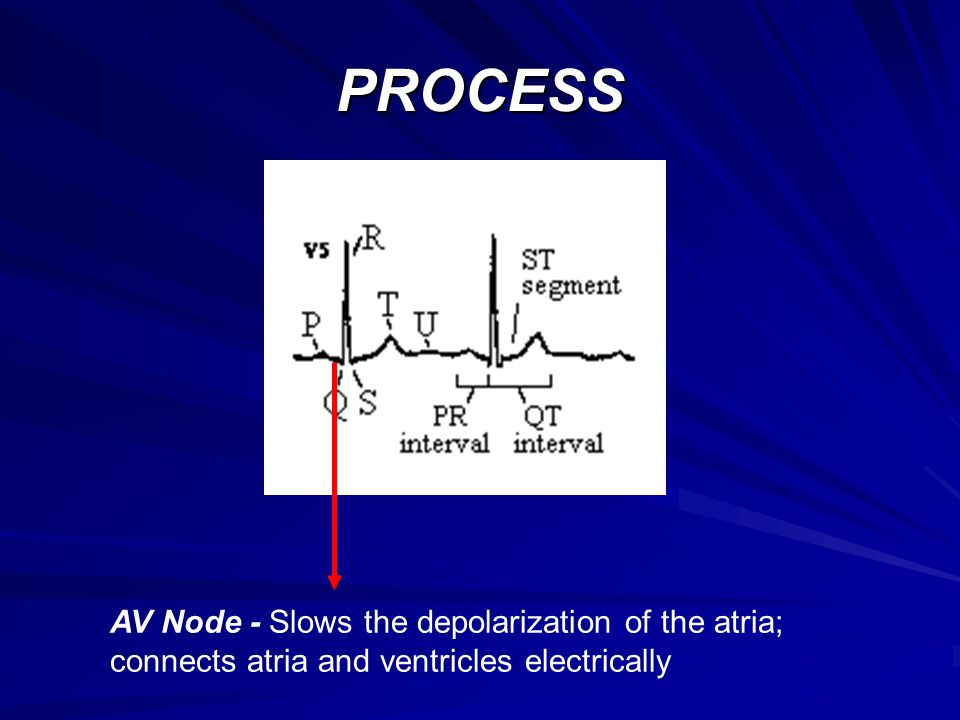 PROCESS AV Node - Slows the depolarization of the atria; connects atria and ventricles electrically
