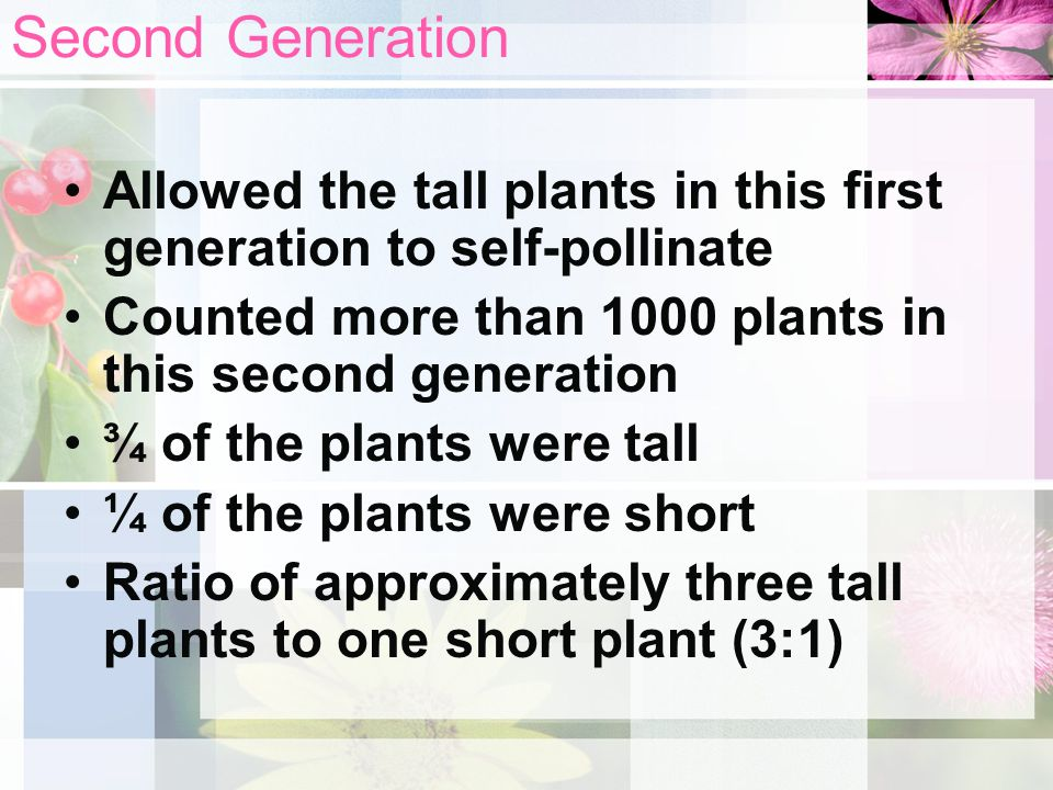 Second Generation Allowed the tall plants in this first generation to self-pollinate. Counted more than 1000 plants in this second generation.