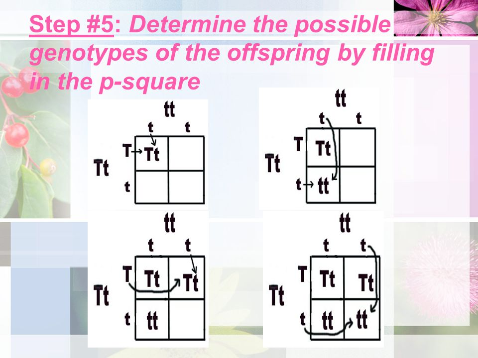 Step #5: Determine the possible genotypes of the offspring by filling in the p-square