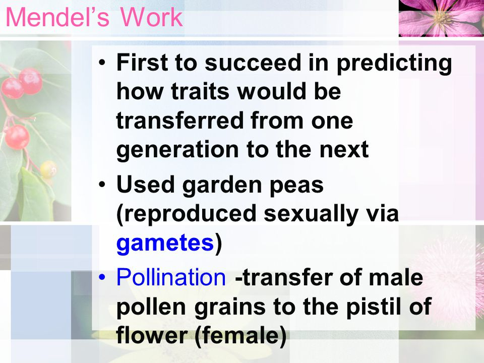 Mendel's Work First to succeed in predicting how traits would be transferred from one generation to the next.