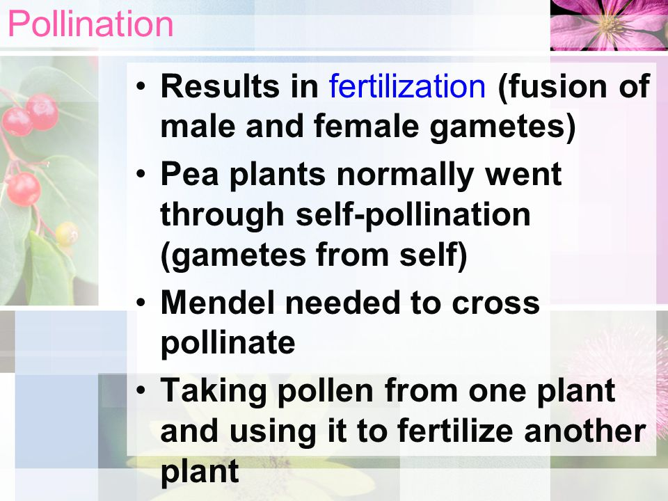 Pollination Results in fertilization (fusion of male and female gametes) Pea plants normally went through self-pollination (gametes from self)