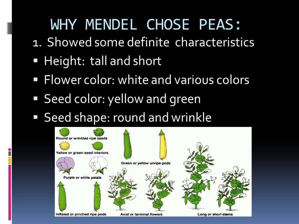 WHY MENDEL CHOSE PEAS: 1. Showed some definite characteristics