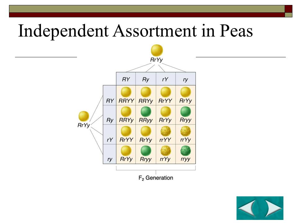 Independent Assortment in Peas
