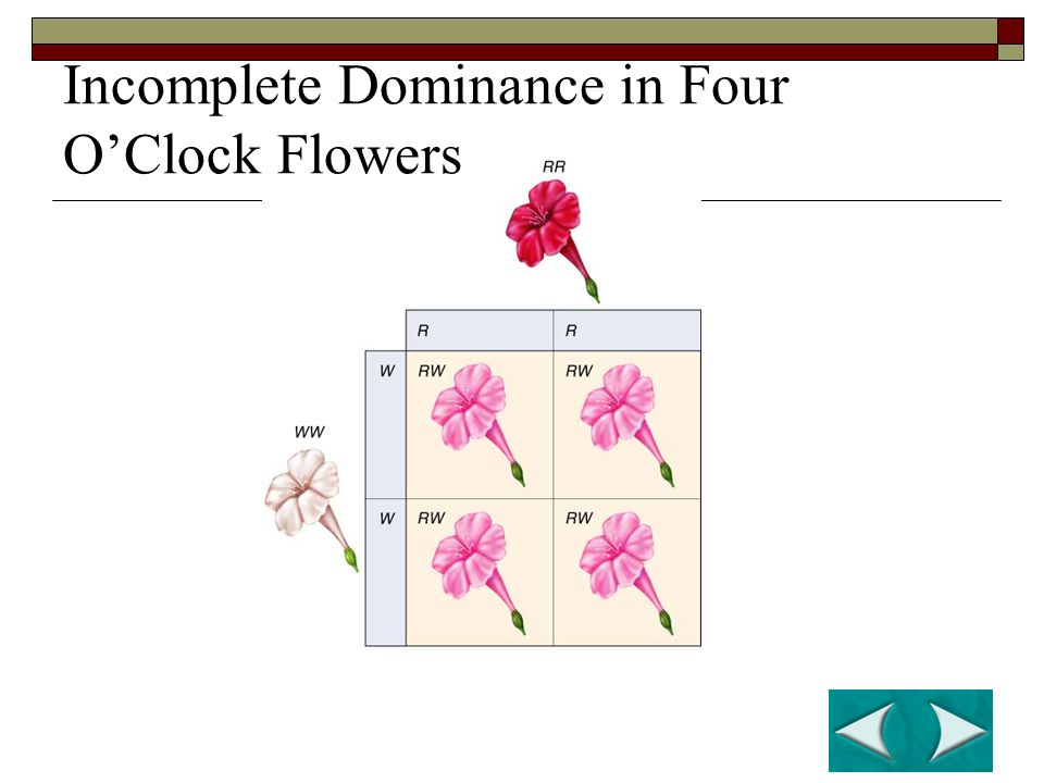 Incomplete Dominance in Four O'Clock Flowers
