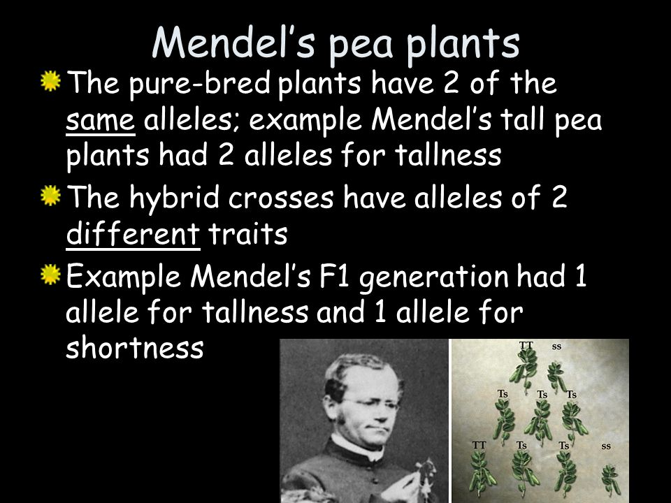 Mendel's pea plants The pure-bred plants have 2 of the same alleles; example Mendel's tall pea plants had 2 alleles for tallness.