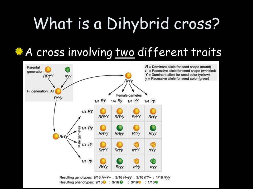 What is a Dihybrid cross