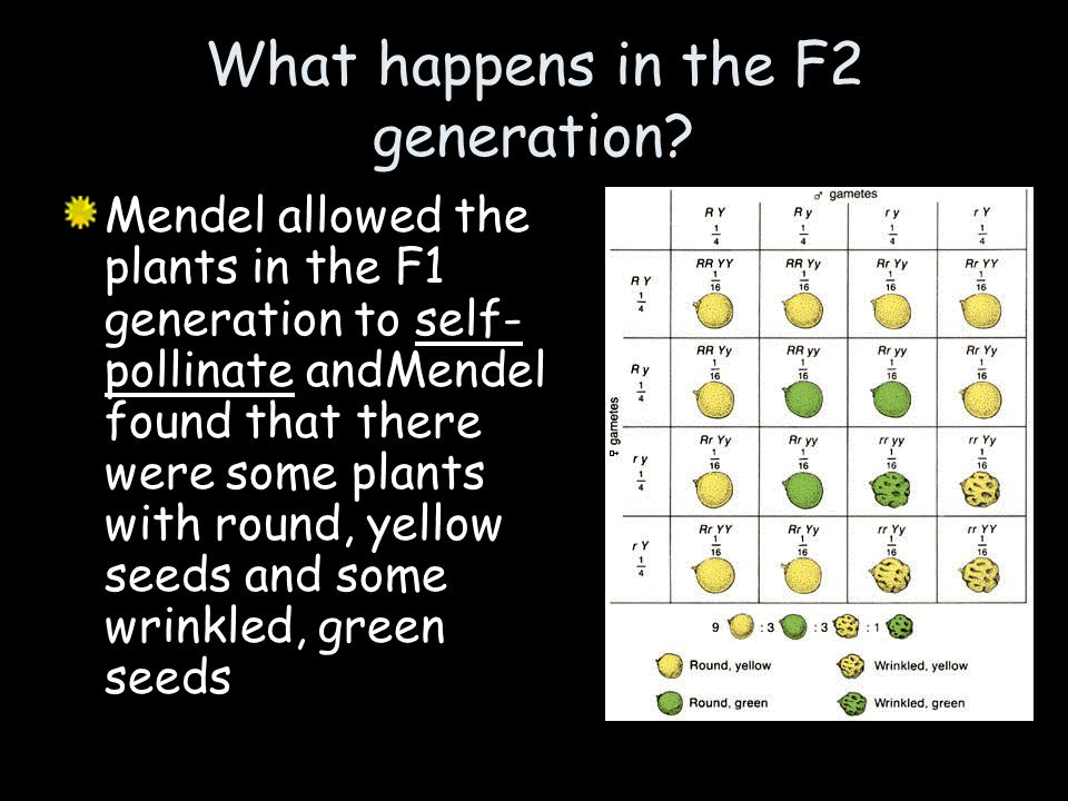 What happens in the F2 generation